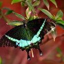 Image of <i>Papilio crino</i> Fabricius 1792