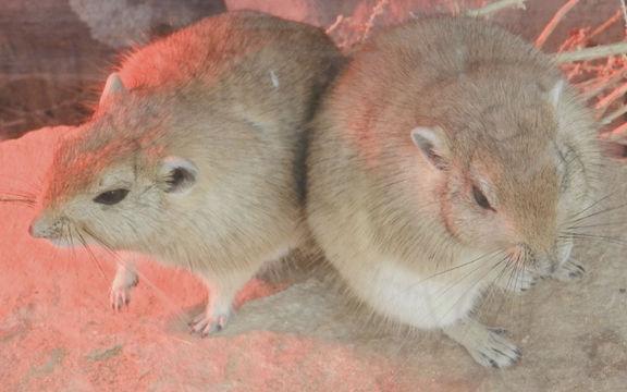 Image of Fat Sand Rat