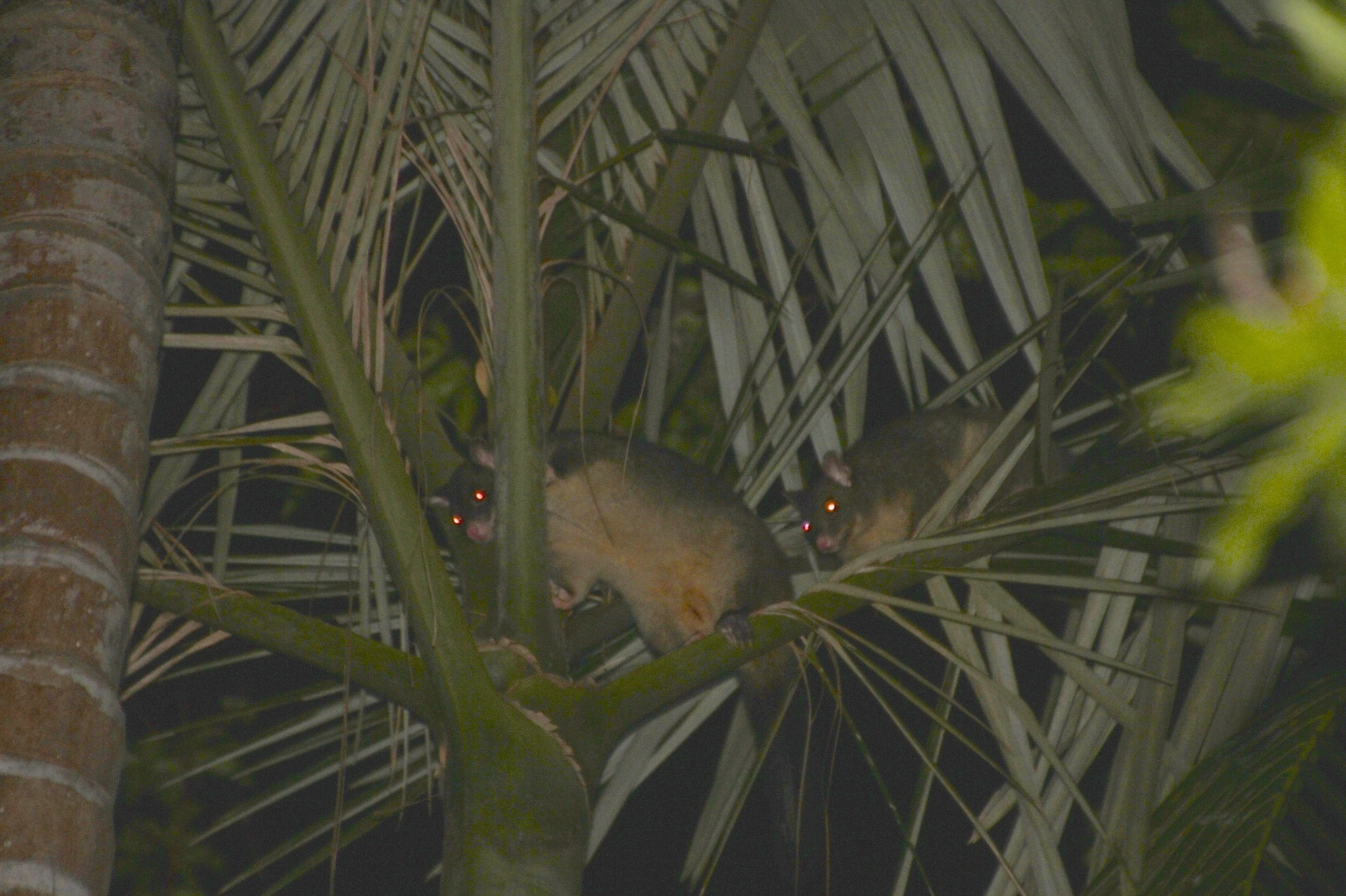 Image of Mountain Brushtail Possum