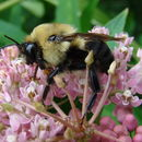 Image of Brown-belted Bumblebee