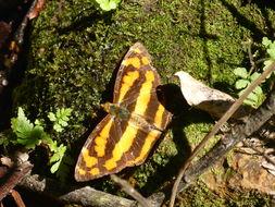 Image of <i>Symbrenthia lilaea lunica</i>