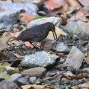 Image of Long-billed thrush