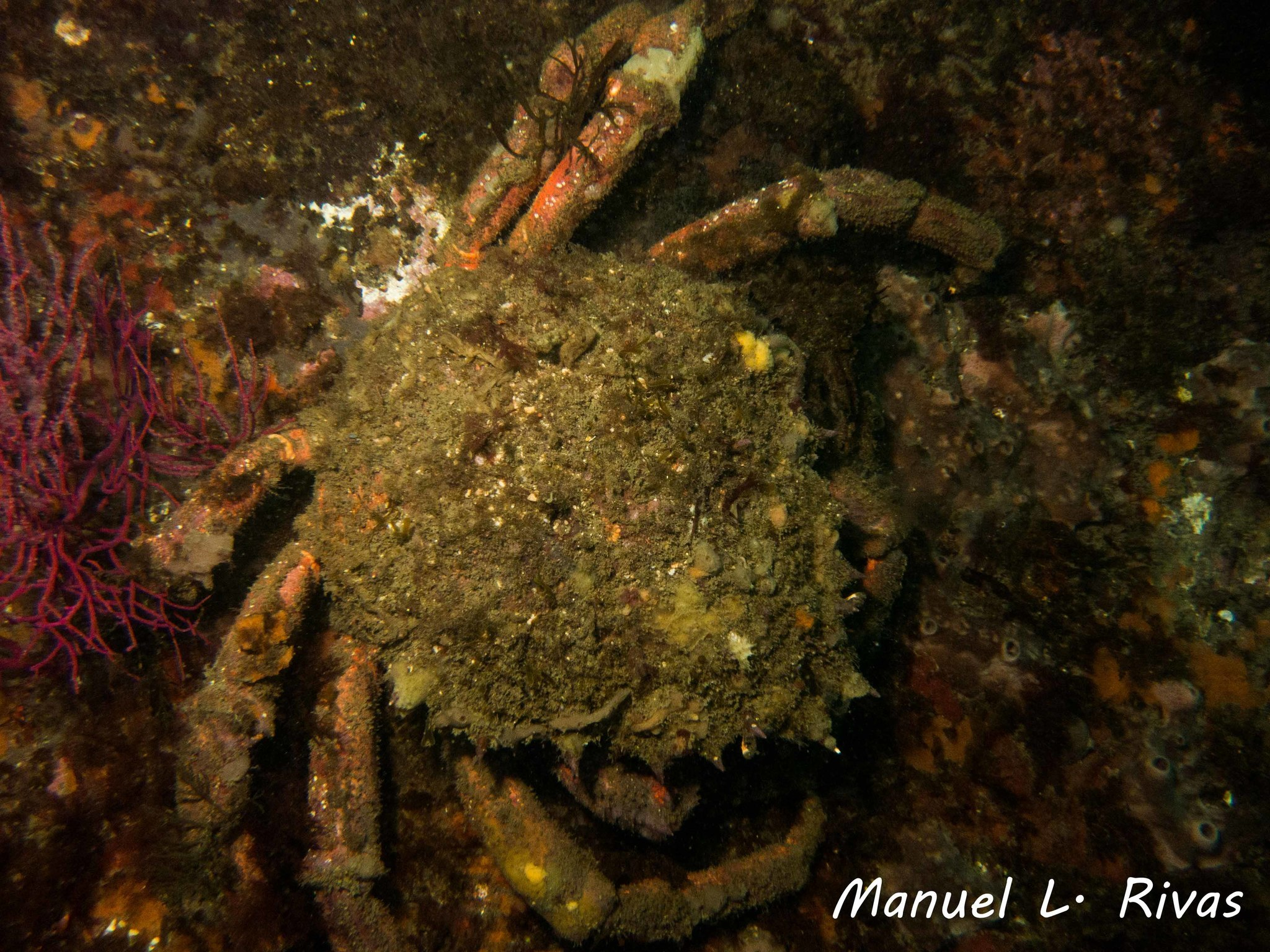 Image of Mediterranean spider crab