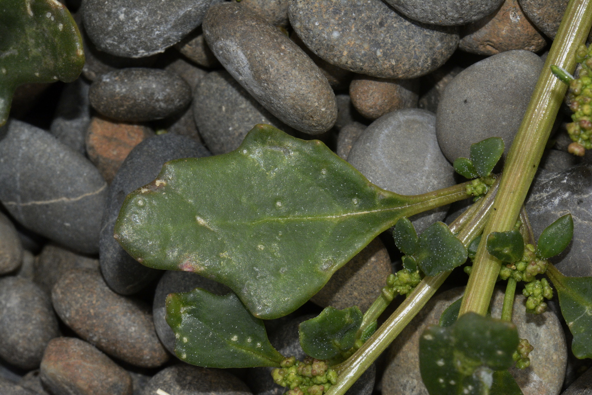 Image of <i>Oxybasis glauca ambigua</i>