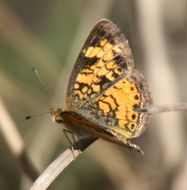 Image of Pearl Crescent