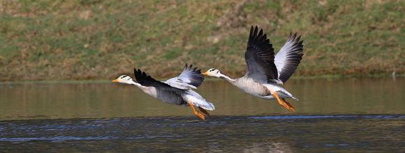 Image of Bar-headed goose