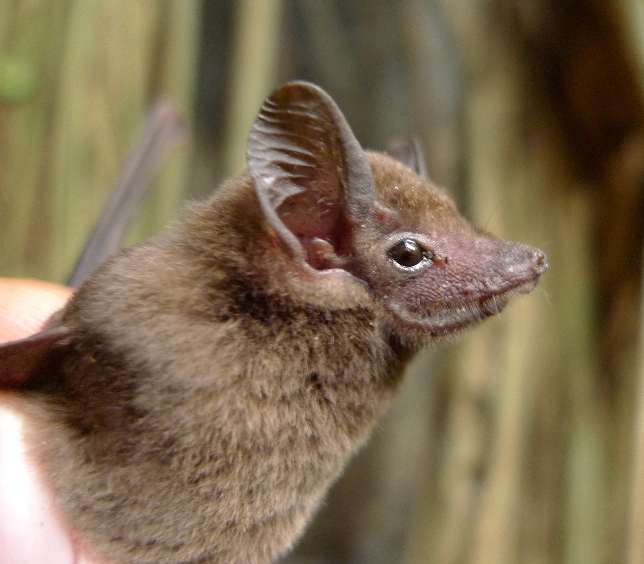 Image of African Sheath-tailed Bat