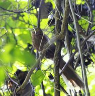 Image of Rufous Coucal