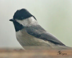 Image of Carolina Chickadee