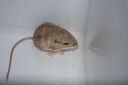 Image of Little pocket mouse