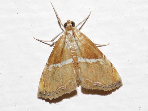 Image of <i>Abegesta remellalis</i> Druce 1899