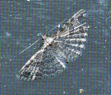 Image of <i>Alucita montana</i> Zagulajev 1993