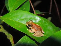 Image of <i>Kurixalus appendiculatus</i> (Günther 1858)