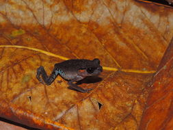 Image of Lowland Litter Frog