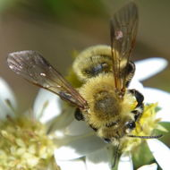 Image of Hairy-banded Andrena