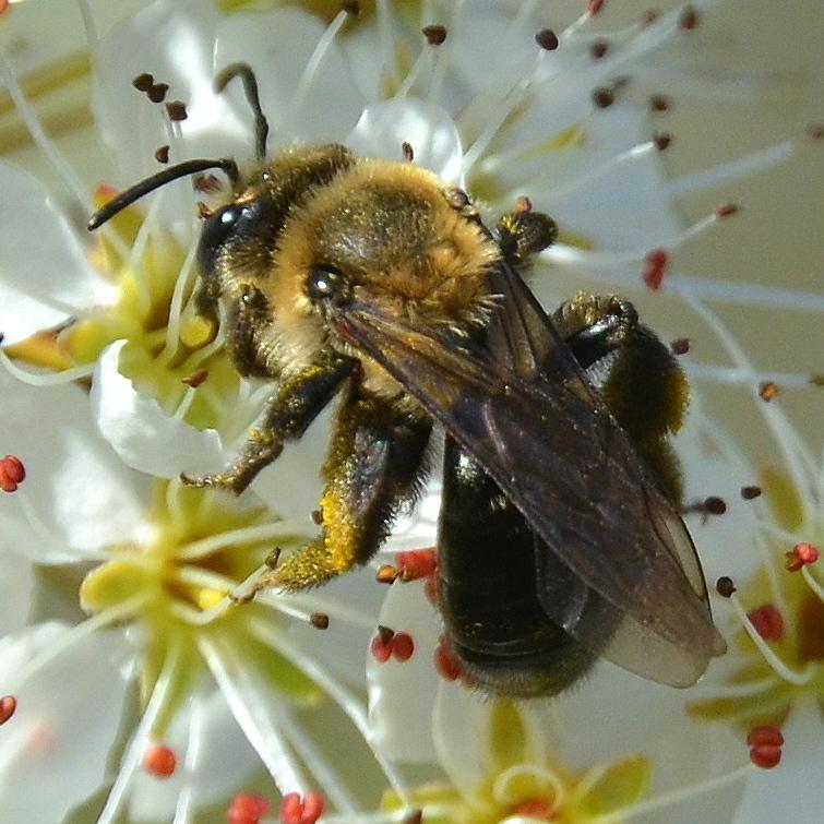 Image of Neighborly Andrena