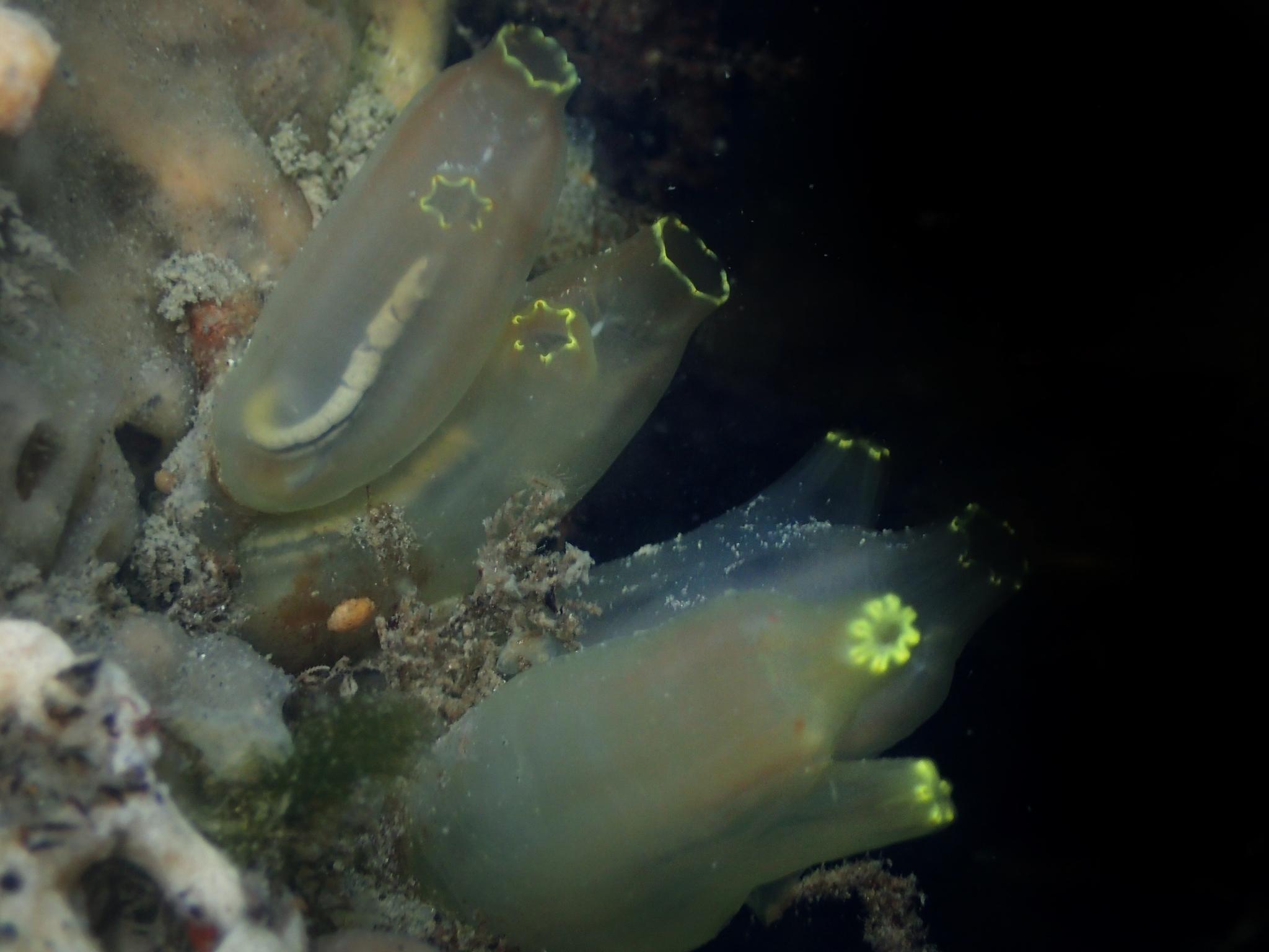 Image of Ascidian