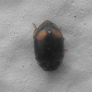 Image of <i>Nephus</i> (<i>Sidis</i>) <i>binaevatus</i> (Mulsant 1850)