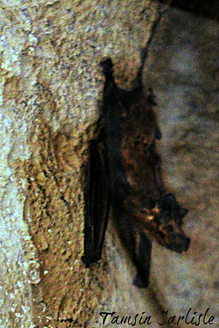 Image of Muscat mouse-tailed bat