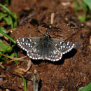 Image of Northern grizzled skipper