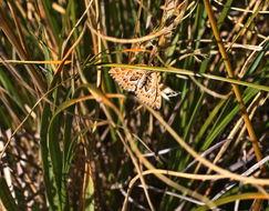 Image of <i>Asaphodes clarata</i>
