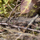 Image of Common wall lizard
