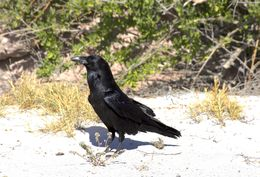 Image of Common raven