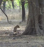 Image of Indian leopard