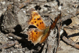 Image of Oreas Comma