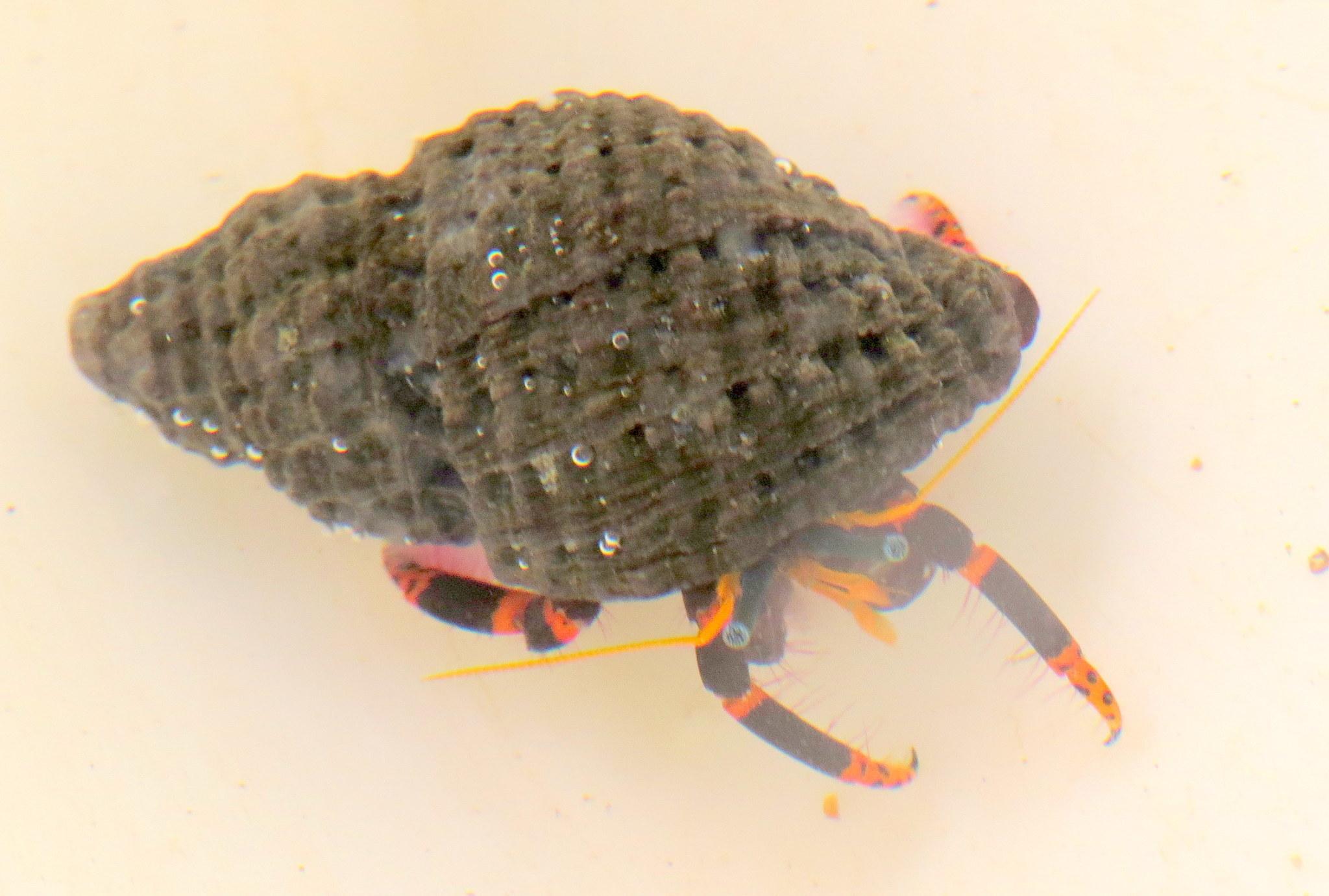 Image of <i>Calcinus pictus</i> (Owen 1839)