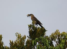 Image of Boat-tailed grackle
