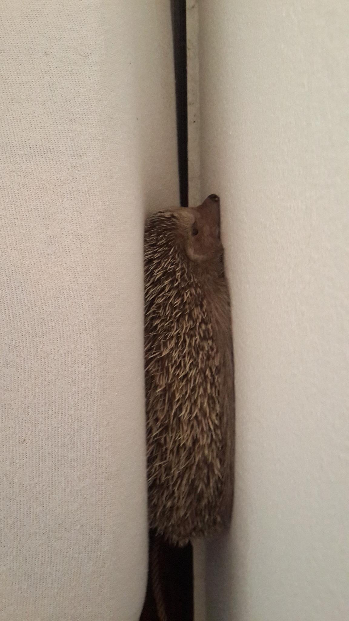 Image of Algerian Hedgehog