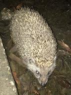 Image of Eastern European Hedgehog