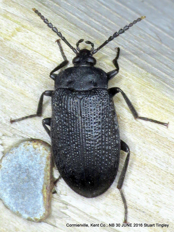 Image of Velvety Bark Beetle