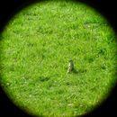 Image of Spotted suslik