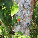 Image of <i>Malvaviscus arboreus</i>