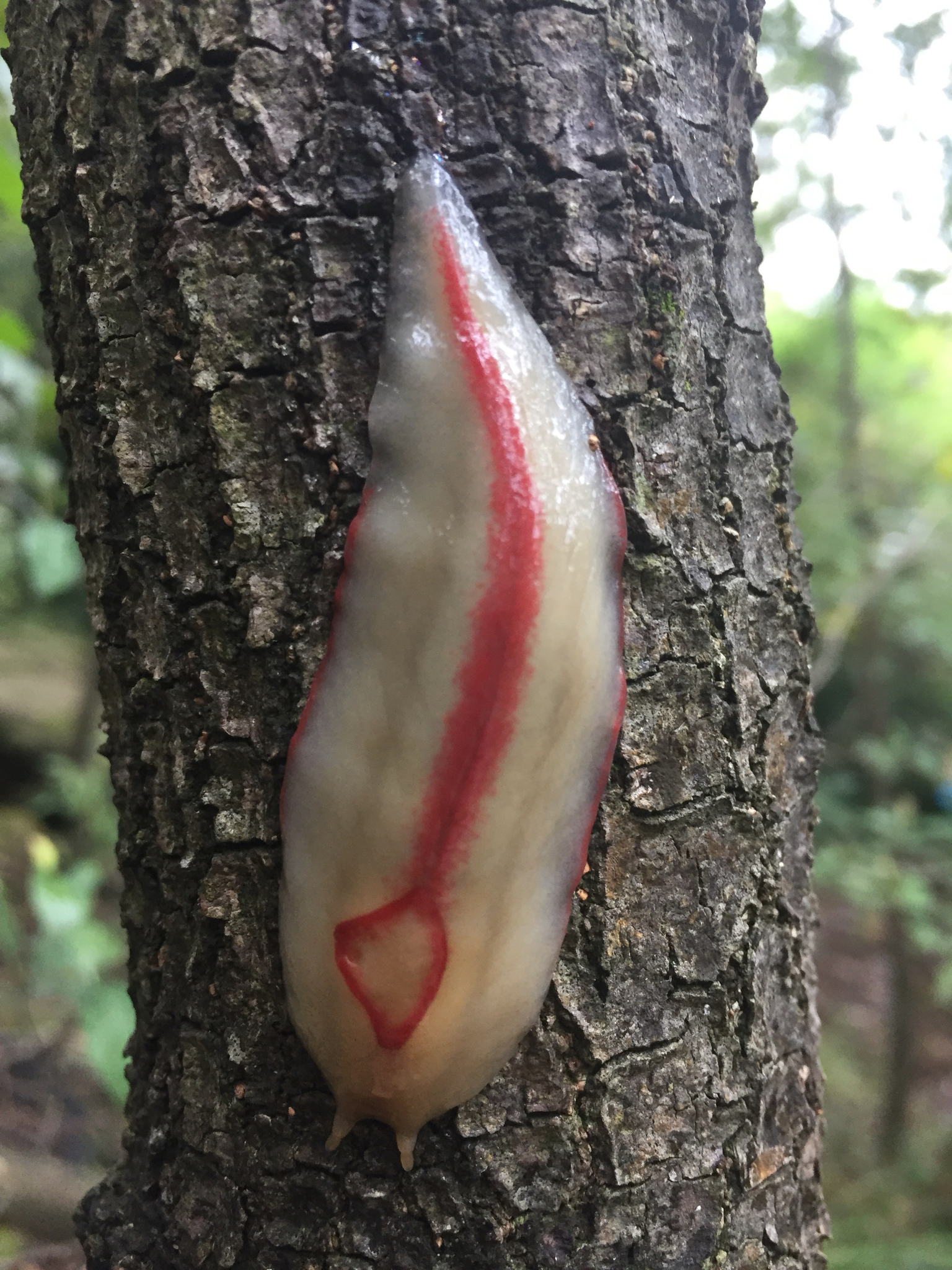 Image of Red triangle slug