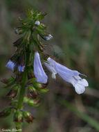 Image of <i>Salvia lyrata</i>