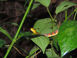 Image of Red-sided Keelback Water Snake