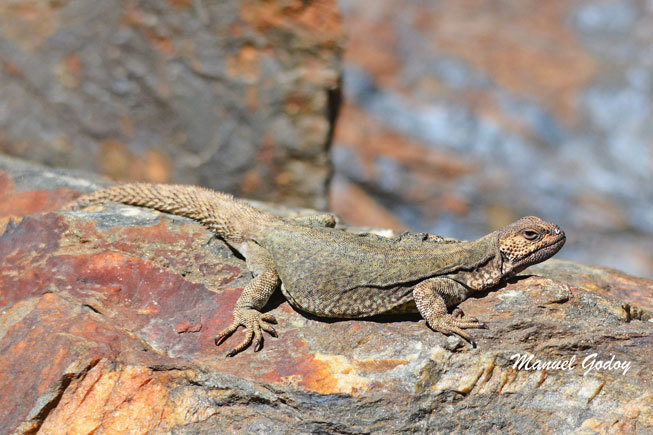 Image of High Mountain Lizard