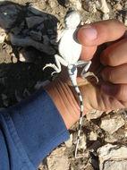 Image of Gray Toadhead Agama
