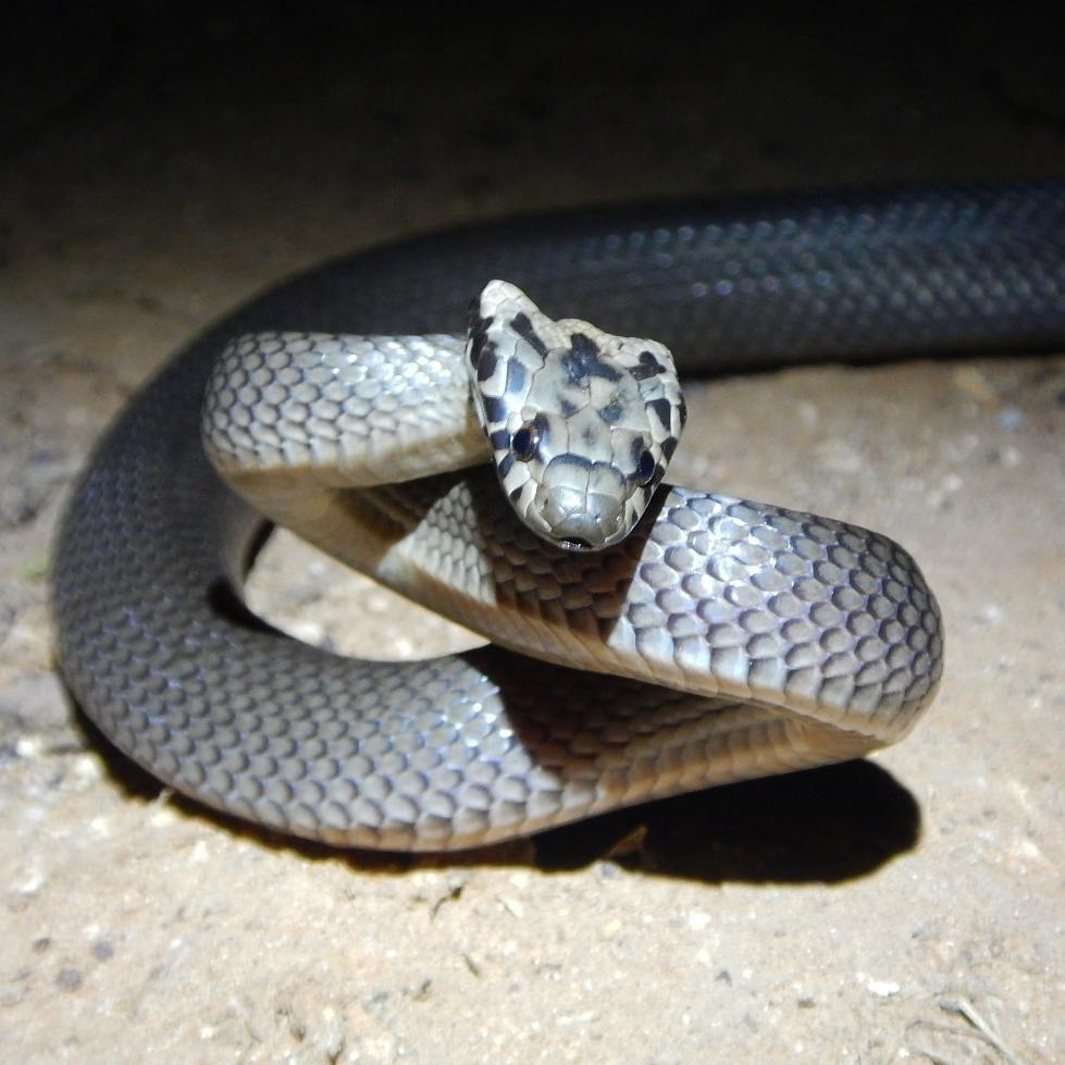 Image of Pale-headed Snake