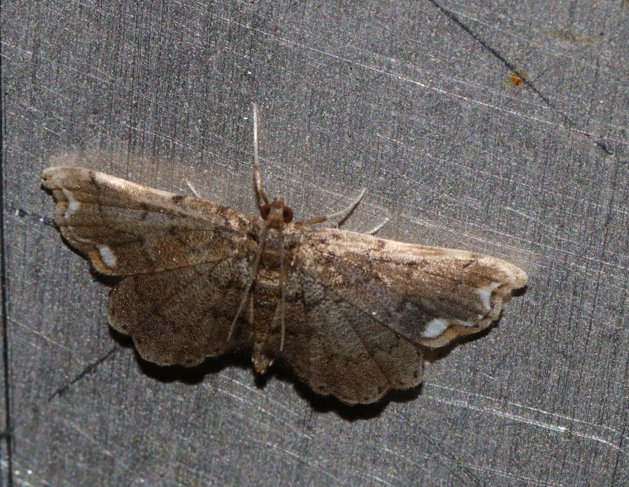 Image of <i>Neomusotima fuscolinealis</i> Yoshiyasu 1985