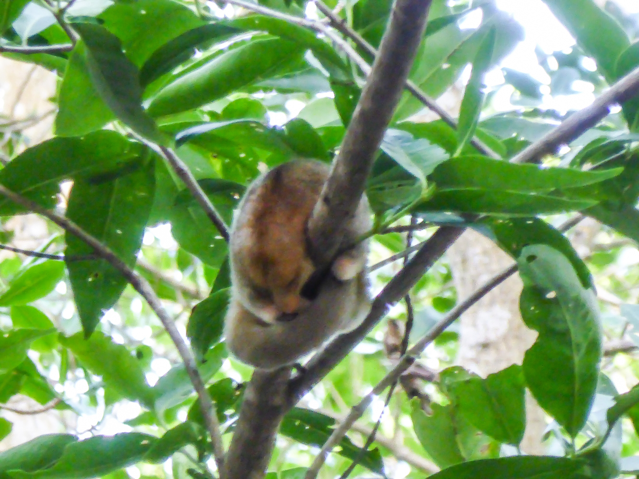 Image of Silky Anteater