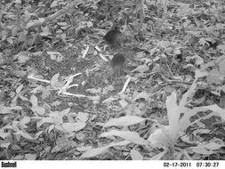 Image of Black and Rufous Elephant Shrew