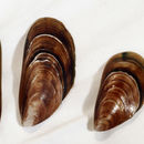 Image of Green mussel