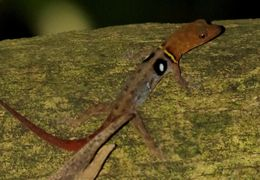 Image of Eyespot Gecko
