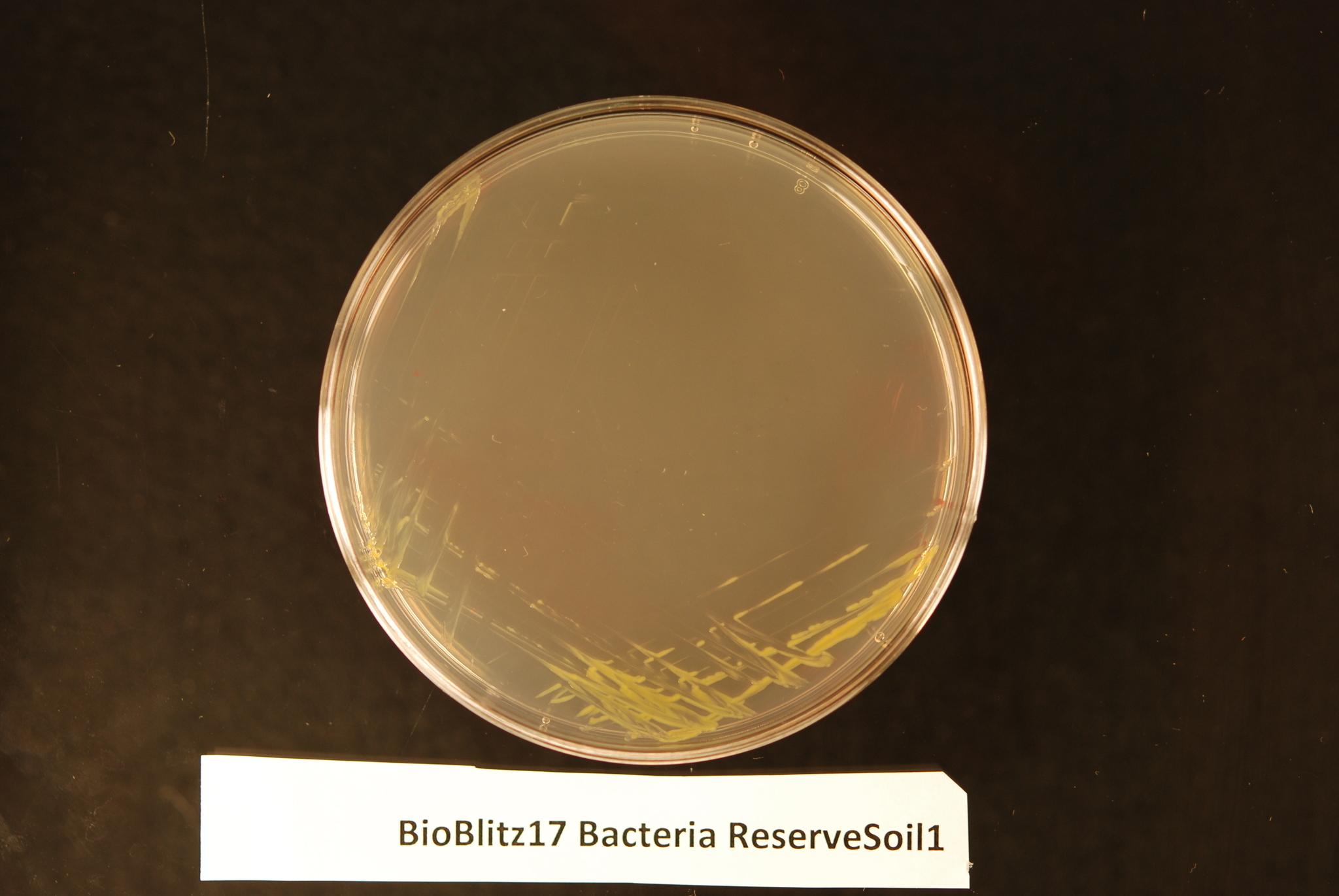 Image of <i>Luteibacter rhizovicinus</i>