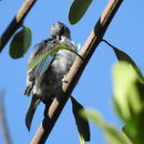 Image of Azure-rumped Tanager