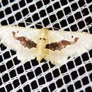 Image of <i>Idaea triangulata</i> Warren 1906